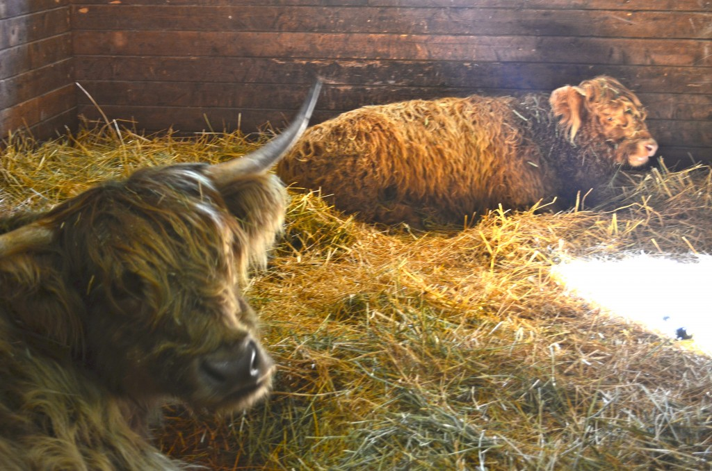 inside barn background. inside the big barn we came across these giants. highland cattle \u2013 baby in background is being weaned from her mama, so she lives with aunt for g
